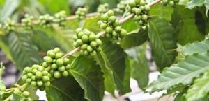 zielona kawa owoce